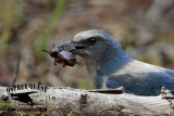 Florida Scrub Jay – Food: Beetles