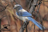 Florida Scrub Jay – home habitat – burned scrub