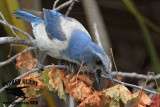 Florida Scrub Jay – Foraging: probing dead leaves