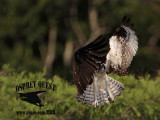 Osprey – Intraspecific Interactions: defensive mid-air maneuvers