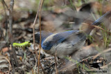 Florida Scrub Jay – Food: caterpillars