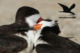 Black Skimmer pair – behavior – quiz