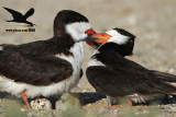Black Skimmer – female pushing away male from the nest