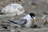 First record of 'pikei' Least Tern incubating eggs - UTC - June 21, 2012
