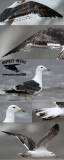 Possible Kelp Gull – Quintana UTC July 22, 2012
