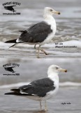 Lesser Black-backed Gull - quiz