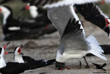 Laughing Gull preying on Black Skimmer eggs - Texas 2012