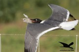 Laughing Gull preying on Black Skimmer chicks - Texas 2012