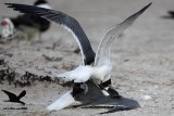 Laughing Gull territorial fights inside Black Skimmer nesting colony - Texas 2012