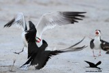 Laughing Gull stealing fish from Black Skimmer on ground - Texas 2012