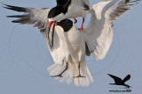 Laughing Gull stealing fish from Black Skimmer in flight - Texas 2012