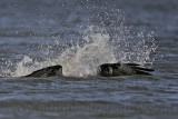 Osprey - Dive - Coming out of the water