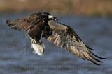 Osprey - Getting airborne