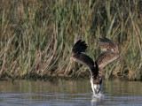 Osprey - Dive - Touch-time