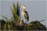 grand héron - great blue heron  mom and  chick.JPG