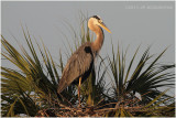 grand héron - great blue heron on nest.JPG