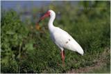 ibis blanc - white ibis.JPG