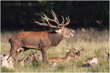 Cerfs de Dyrehaven - Dyrehaven red deers