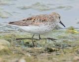 Western Sandpiper (breeding plumage)  4Z036893 copy.jpg