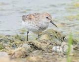 Western Sandpiper (breeding plumage)   4Z036894 copy.jpg