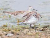 Western Sandpiper (breeding plumage) with phalarope  4Z036902 copy.jpg
