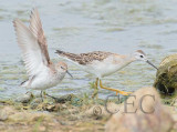 Western Sandpiper (breeding plumage) with phalarope  4Z036903 copy.jpg