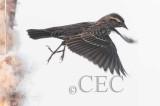 Red-wing Blackbird, female  AE2D1358b copy.jpg