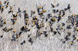 Yellow-headed Blackbirds swarm before breeding season, (with a few Red-wing Blackbirds and females)  AE2D1929b copy.jpg