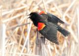Red-wing Blackbird  male  AE2D2255 copy - Copy.jpg