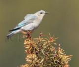 Mountain Bluebird female Bethyl Ridge AEZ10657 copy - Copy.jpg