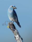 Mountain Bluebird male Bethyl Ridge AEZ17294 copy - Copy.jpg
