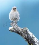 Mountain Bluebird female Bethyl Ridge AEZ17306 copy - Copy.jpg