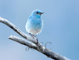 Mountain Bluebird male Bethyl Ridge AEZ17311 copy - Copy.jpg