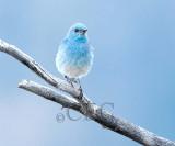 Mountain Bluebird male Bethyl Ridge AEZ17312 copy - Copy.jpg