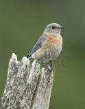 Western Bluebird female WT4P7289 copy - Copy.jpg