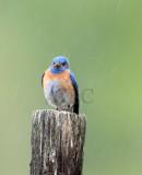 Western Bluebird male in rain Wenas _EZ40343 copy - Copy.jpg
