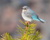 Mountain Bluebird female, Bethyl Ridge _EZ44042 - Copy.jpg