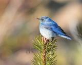 Mountain Bluebird male Bethyl Ridge _EZ44047 copy - Copy.jpg