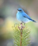Mountain Bluebird male Bethyl Ridge _EZ44056 copy - Copy.jpg