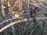 Black-headed Grosbeak, female chats up male 4Z052421 copy - Copy.jpg