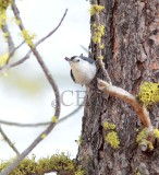 White-breasted Nuthatch  AE2D2753 copy - Copy.jpg