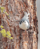 White-breasted Nuthatch  AE2D2798 copy - Copy.jpg