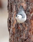 White-breasted Nuthatch  AE2D2800 copy - Copy.jpg