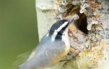 Red-breasted Nuthatch at nest AEZ14453 copy - Copy.jpg