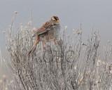 White-crowned Sparrow, juvenile AE2D1662b copy - Copy.jpg
