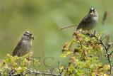 White-crowned Sparrow, breeding pair, Lopez Island  WT4P1635+33 copy - Copy.jpg