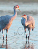 Crane Roost (best viewed as slide show)