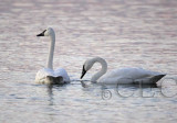 Generic Swans