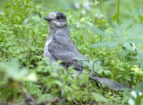 Gray Jay  WT4P3469 copy.jpg