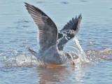 Heermann's Gulls